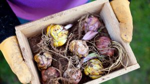 Forcing Bulbs: A Quick and Easy Way to Brighten a Winter's Day
